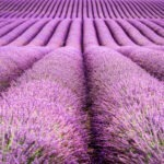 Fialový výlet plný vôní | fototip
